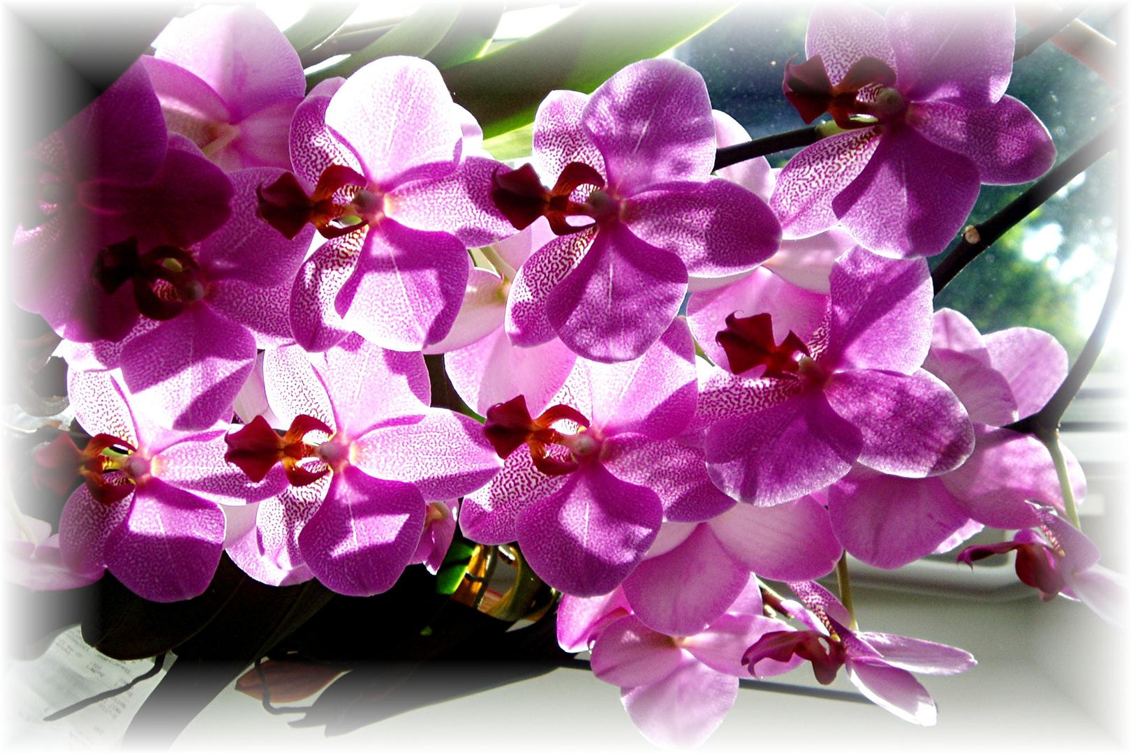 blühender hibiscus