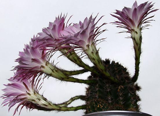 ::: blühender Kaktus 1