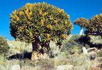 Blühender Köcherbaum