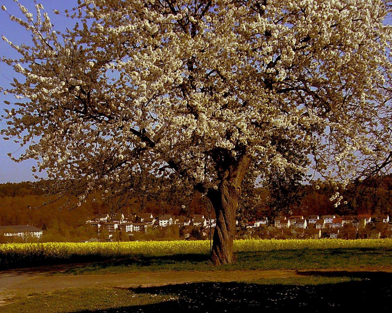 Blühender Obstbaum von der Abendsonne angestrahlt.