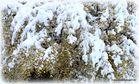 Blühender Schnee;SG;CH