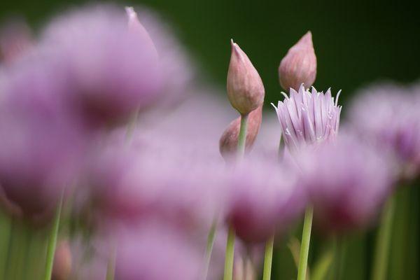Blühender Schnittlauch