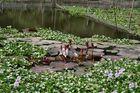 Blühender Wasserteppich...