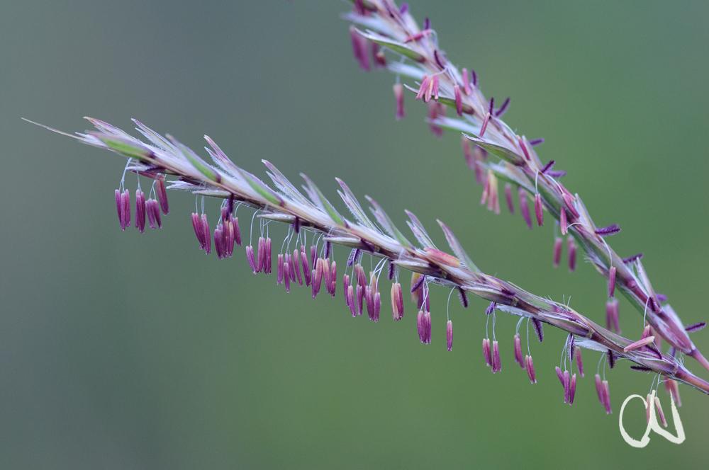 Blühendes Gras, Südafrika