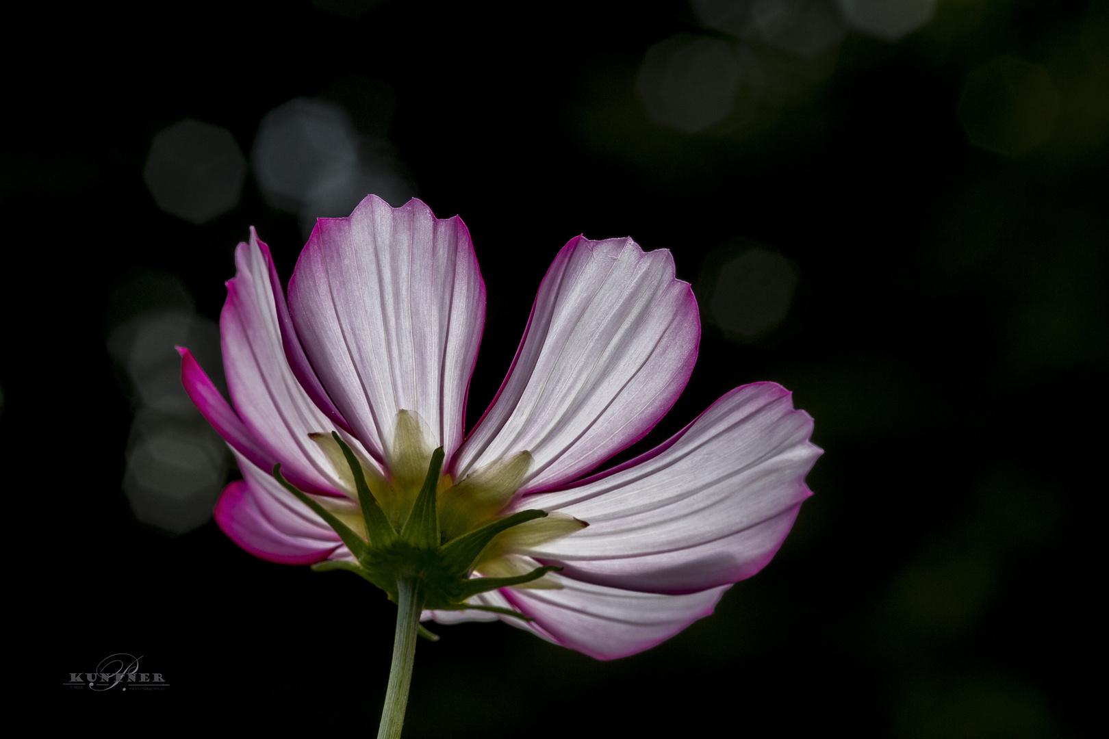 Blühte im gegenlicht