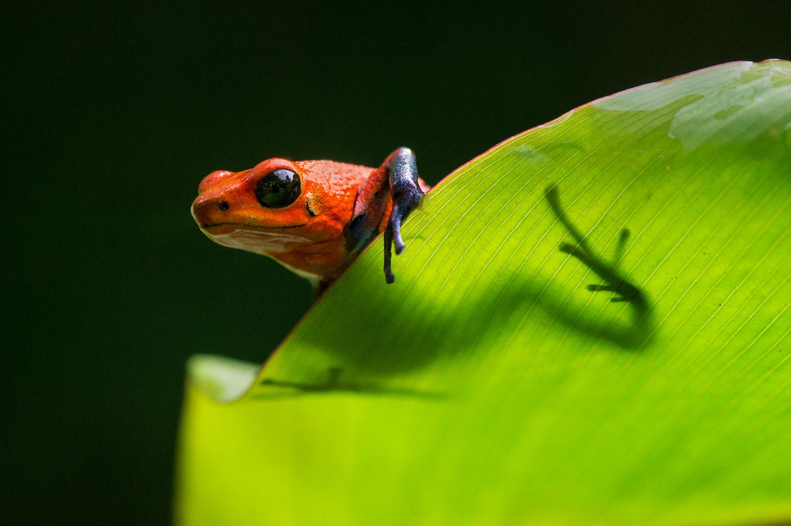 Bluejeans-Frosch