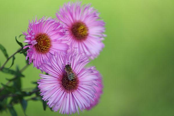 Blümchen mit Biene