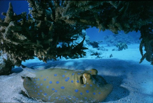 Bluespotted ray