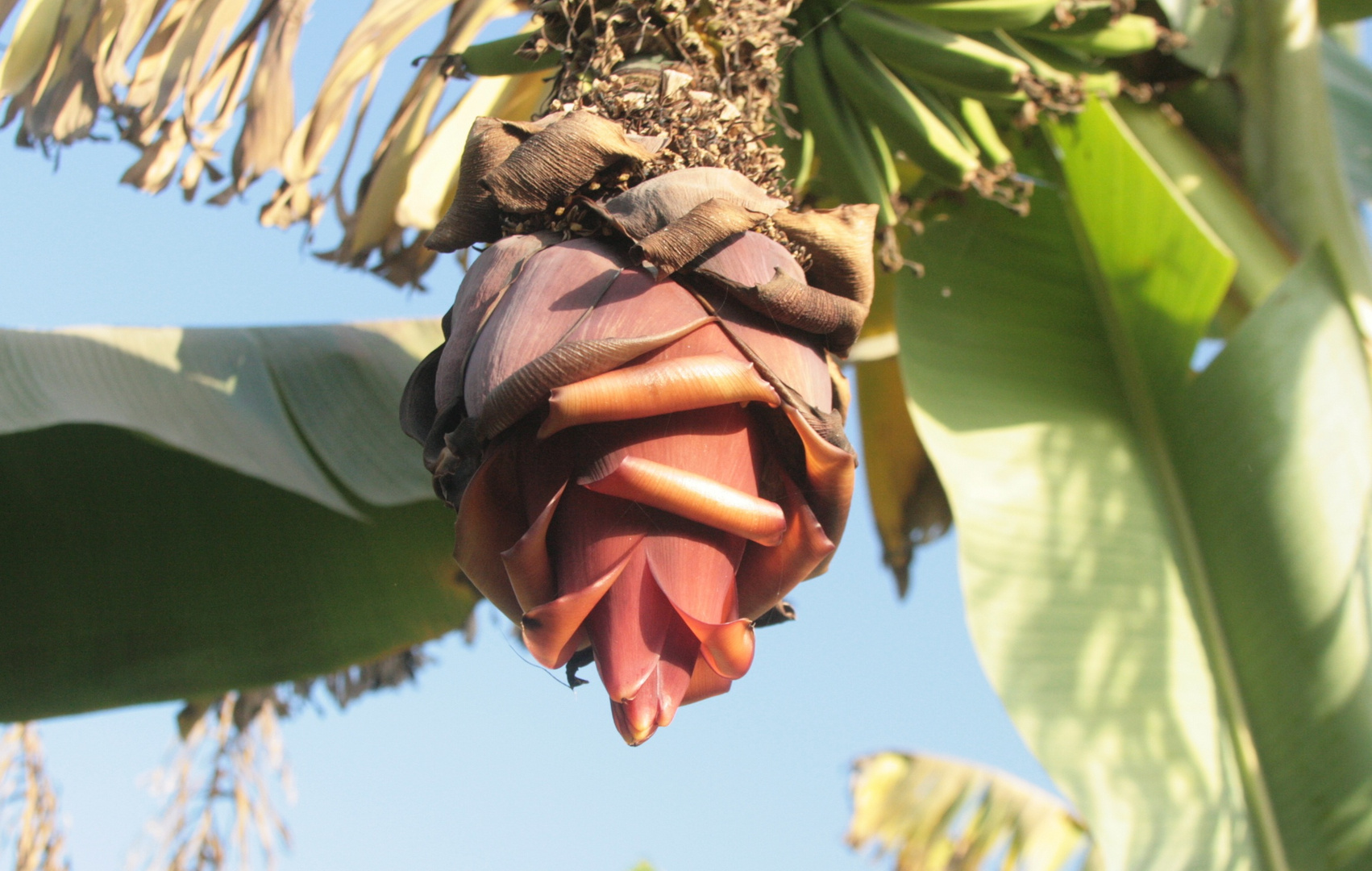 ... Blüte auf der Bananen-Insel - Nahe Luxor ...