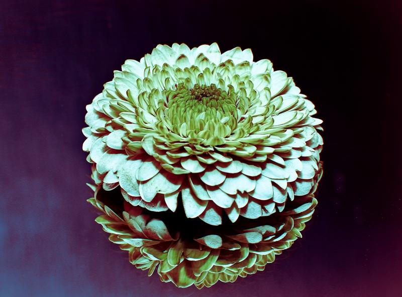 Blüte auf einem Spiegel ( ein Versuch)