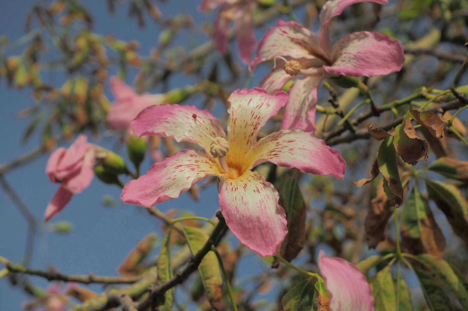 Blüte auf Sizillien