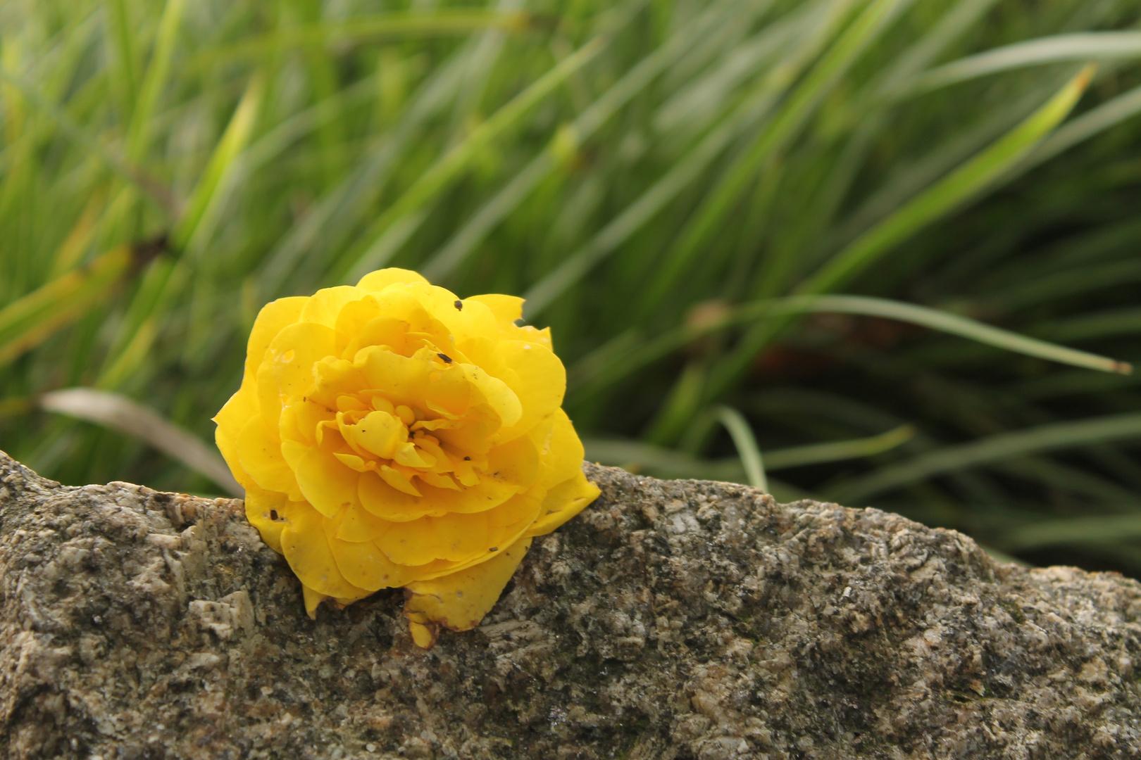 Blüte auf Stein