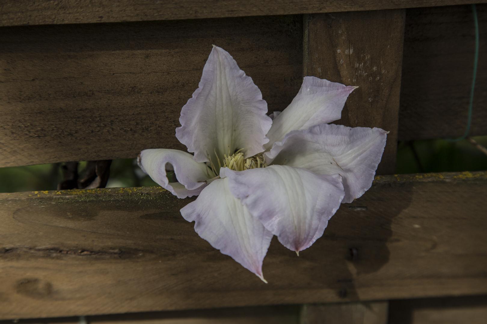 Blüte aus Nachbar´s Garten