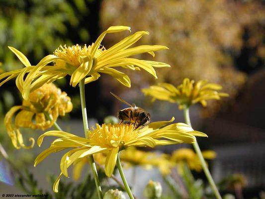 Blüte & Biene im Hochgebirge