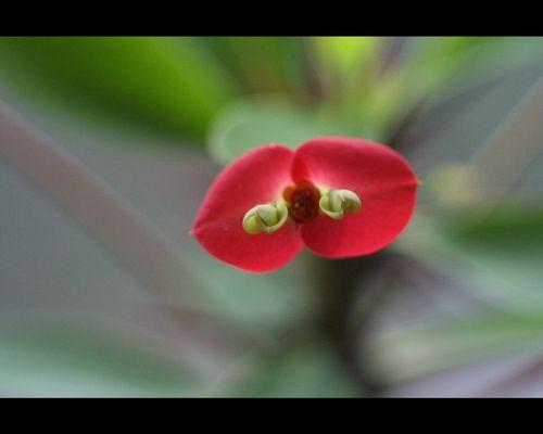 Blüte Christusdorn