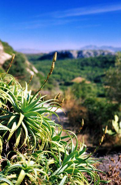 Blüte der Agarve