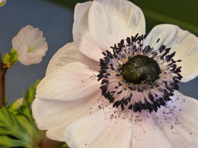 Blüte der Anemone