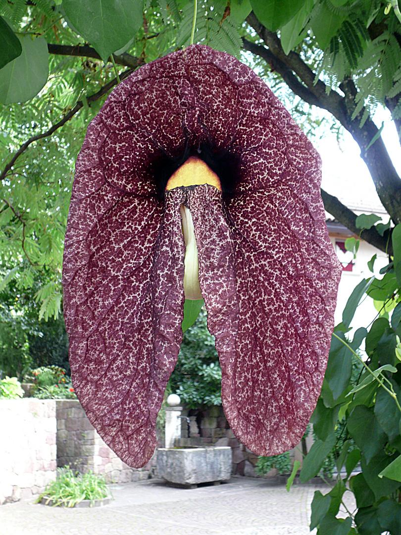 bl te der brasilianischen pfeifenwinde foto bild pflanzen pilze flechten rankgew chse. Black Bedroom Furniture Sets. Home Design Ideas