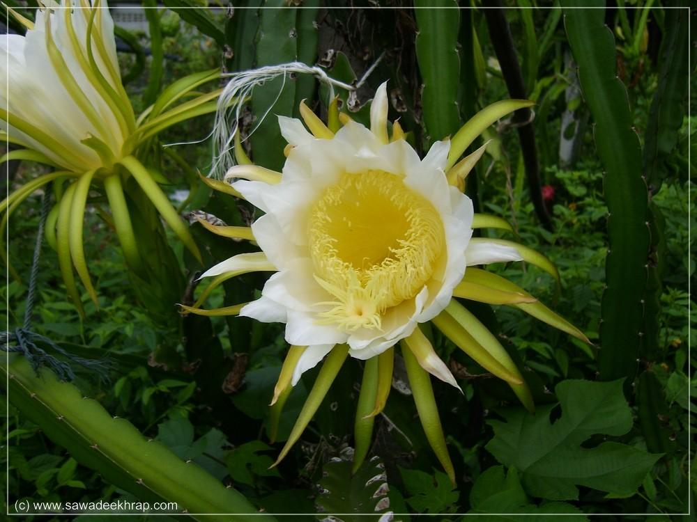 Blüte der Drachenfrucht