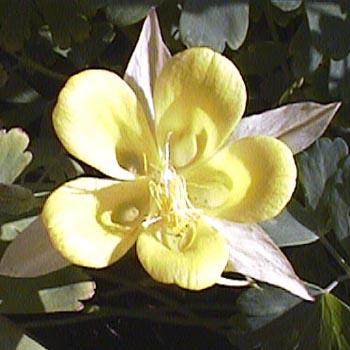 Blüte der gelben Akelei