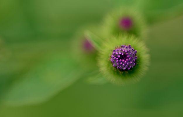 Blüte der Mariendistel.