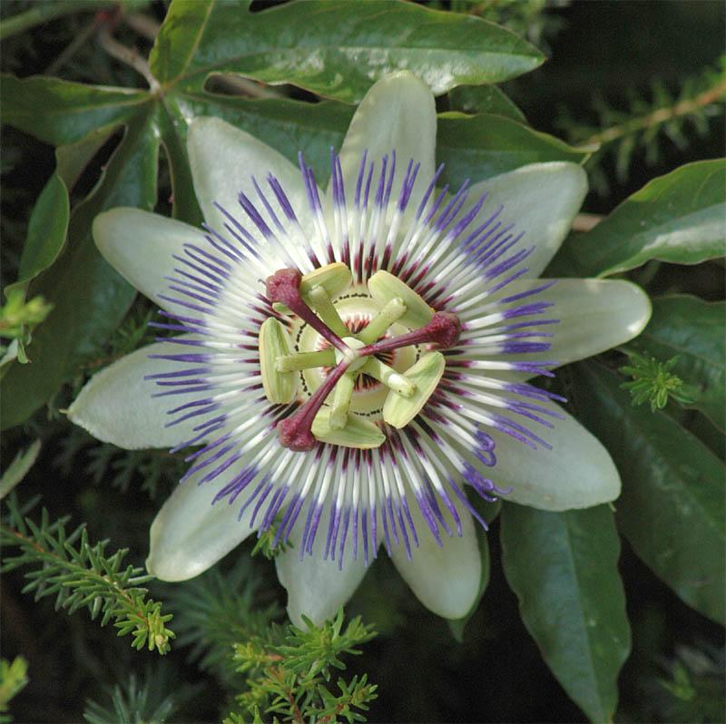 Blüte der Passionsblume