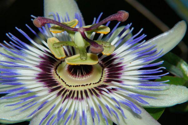 Blüte der Passionsfrucht(Passiflora Ssp.)