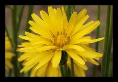 Blüte der Schwarzwurzel