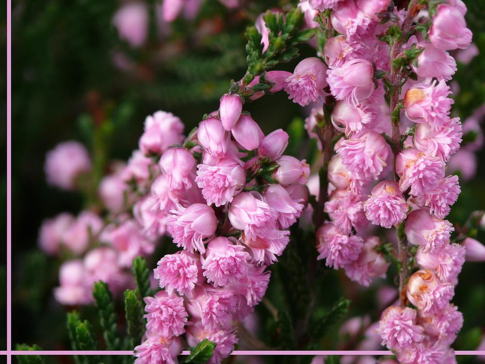 Blüte der Sommerheide