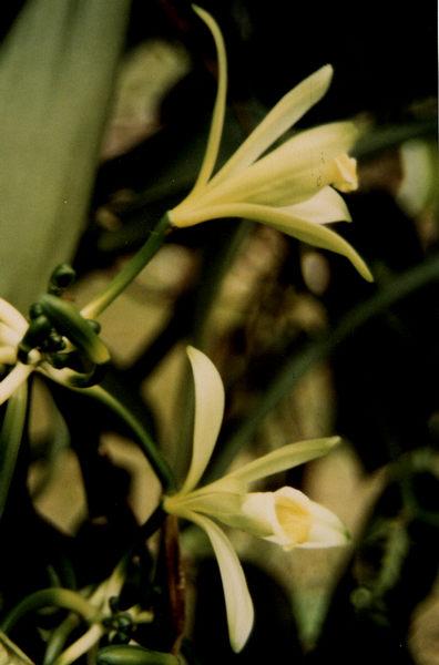 Blüte der Vanille