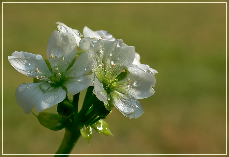 Blüte der Venusfalle 1