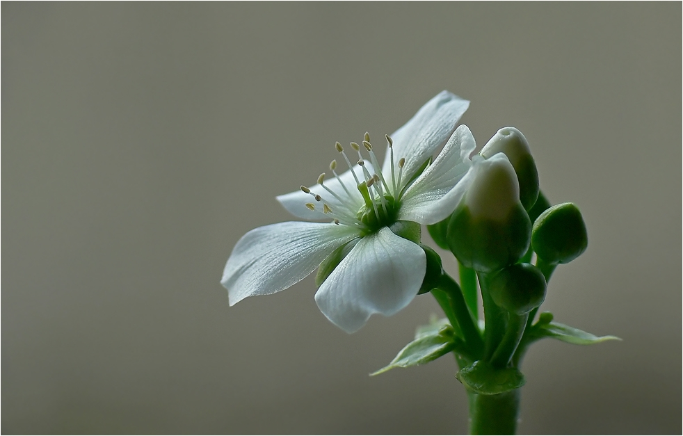 Blüte der Venusfalle