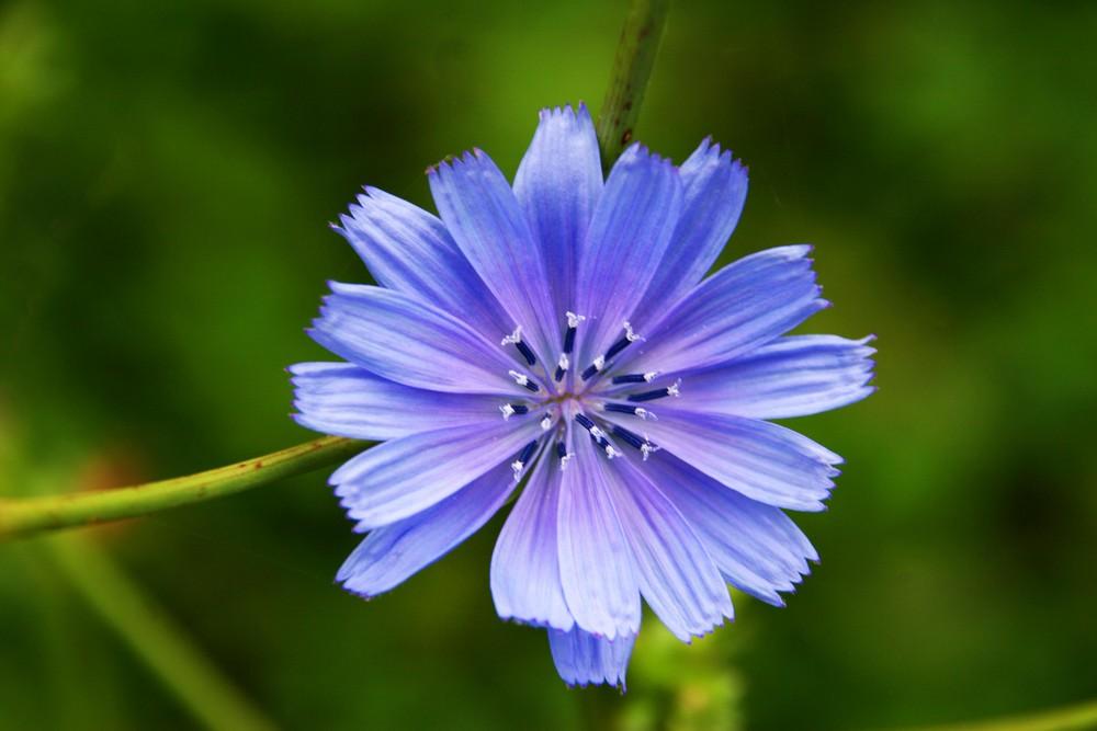 Blüte der Wegwarte