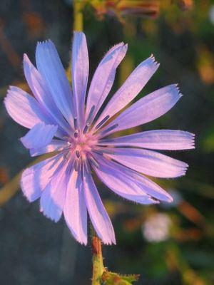 Blüte der Wegwarte bei Sonnenaufgang