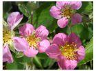 Blüte der Ziererdbeere