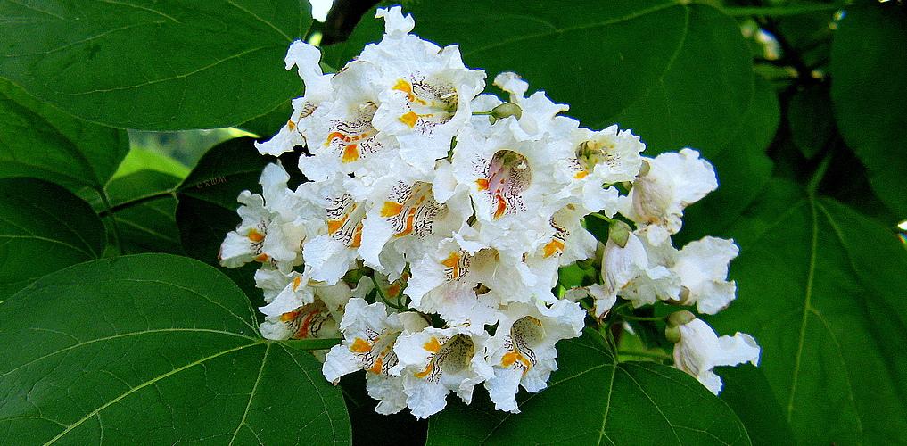 Blüte des Beamtenbaum...