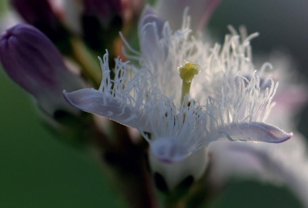Blüte des Fieberklees