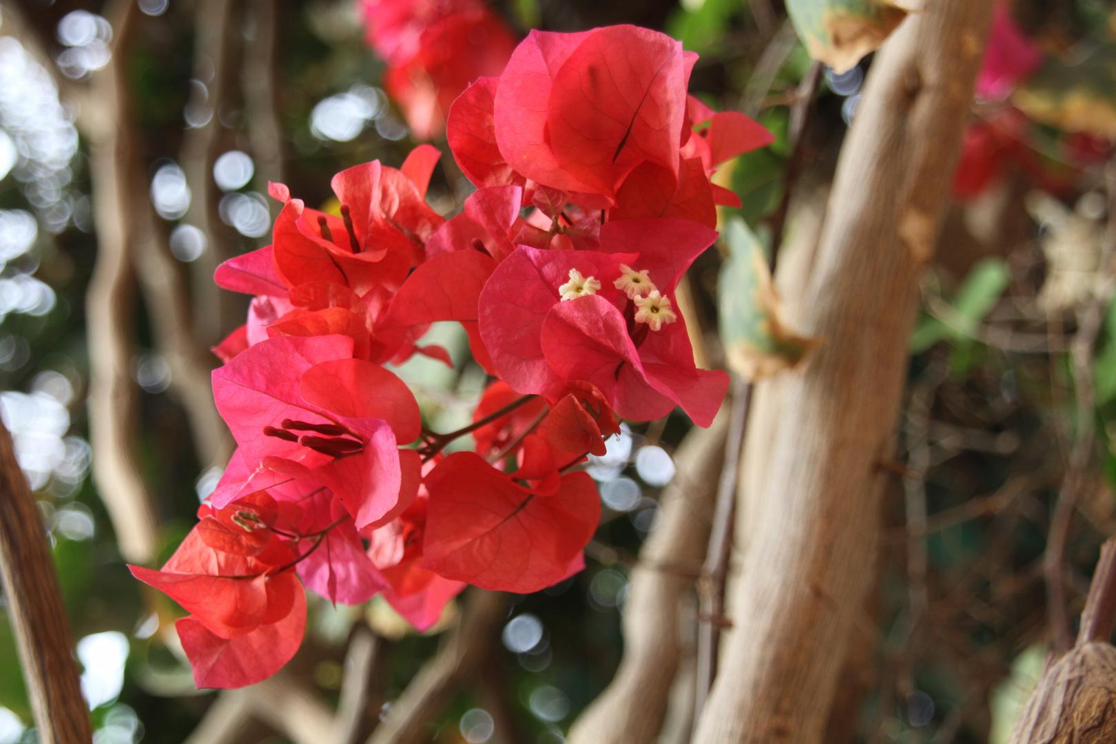 Blüte des Flammenbaumes