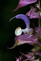 Blüte des Muskateller Salbei.