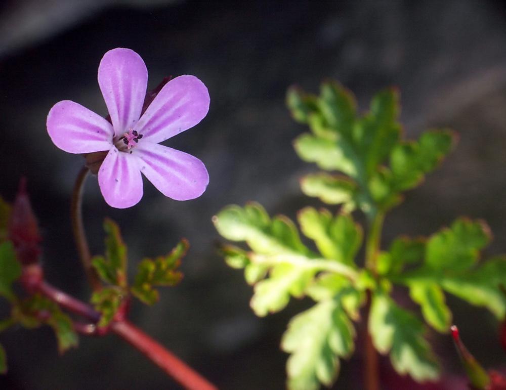 Blüte des Ruprechtskrauts (Geranium robertianum)