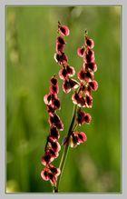 Blüte des Sauerampfers