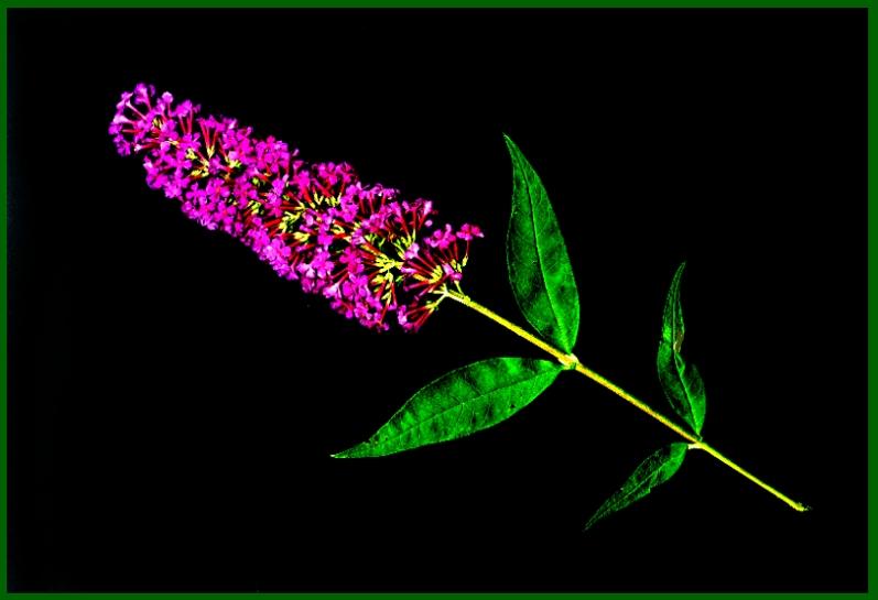 Blüte des Schmetterlingsstrauchs