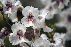 Blüte des Trompetenbaums