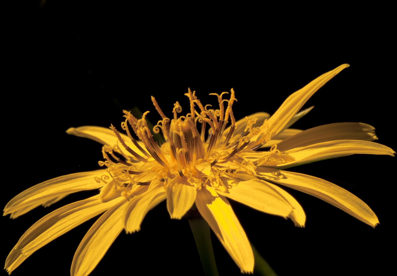 Blüte des Wiesenbocksbart