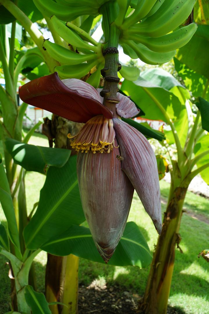 Blüte einer Bananenstaude