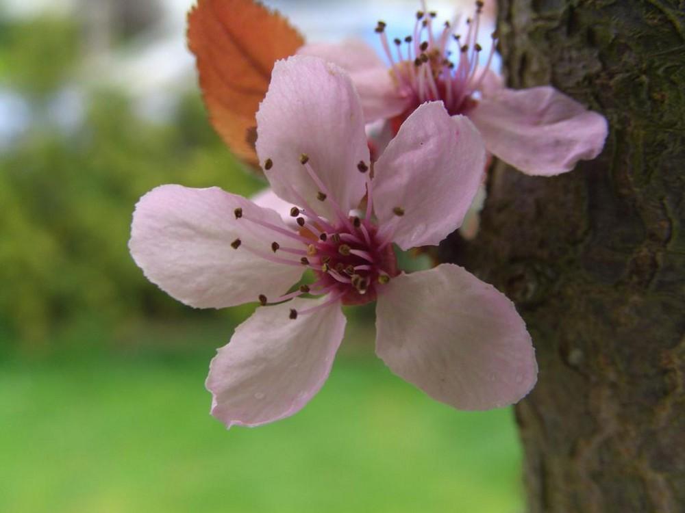 Blüte einer Blutpflaume