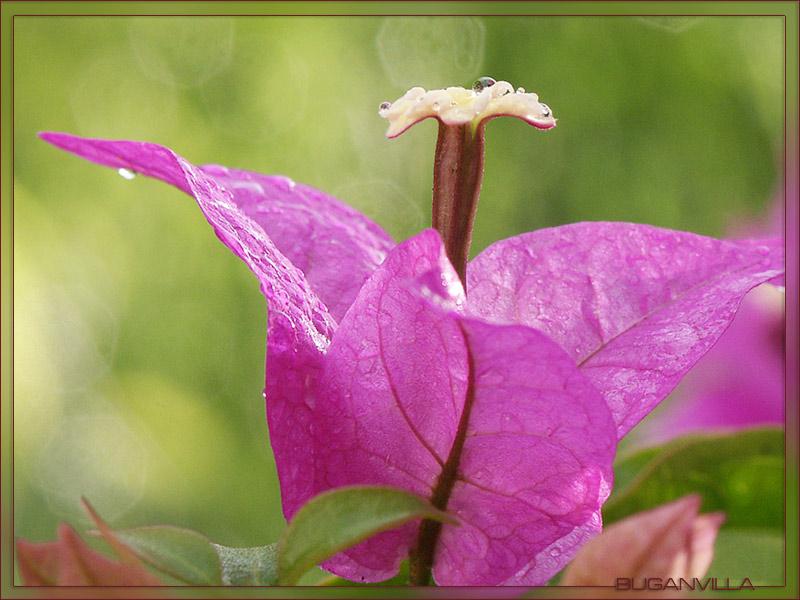 Blüte einer BUGANVILLA