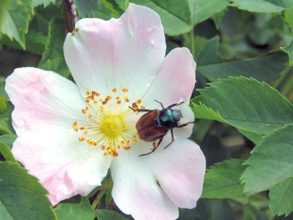 Blüte einer Heckenrose