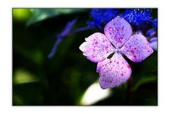 Blüte einer Hortensie