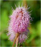 Blüte einer Mimosenart